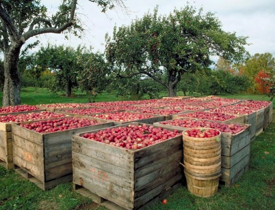 jablka-zbiory