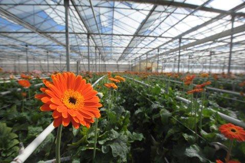 kwiaty-holandia2